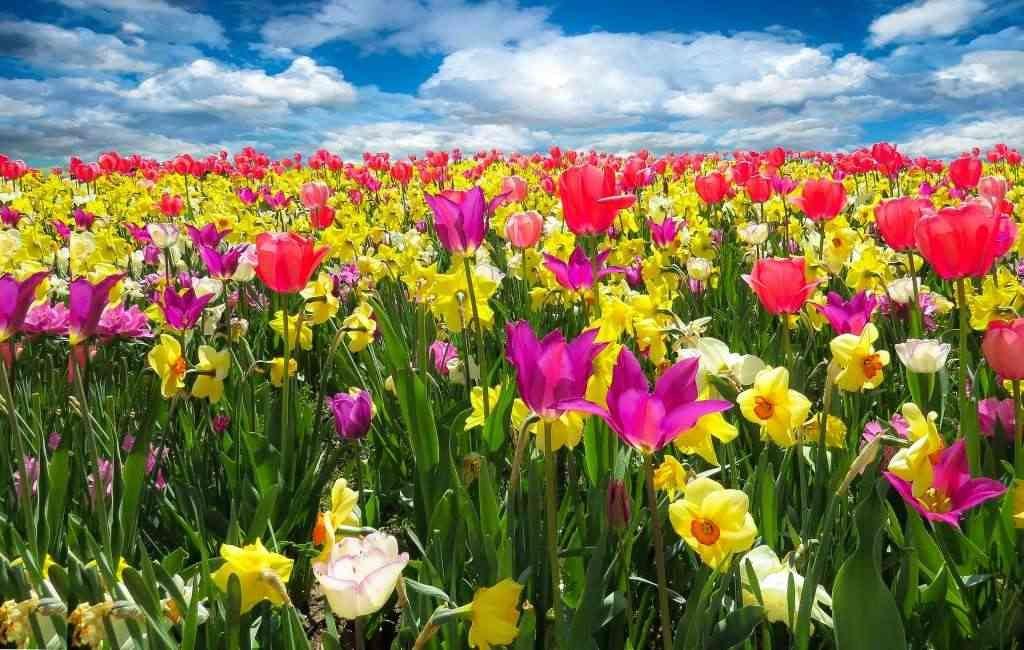Día Nacional del Tulipán en los Países Bajos
