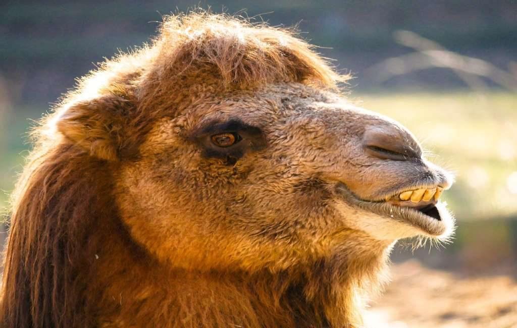 ¿Qué hacen dos dromedarios y un camello paseando en Bélgica?