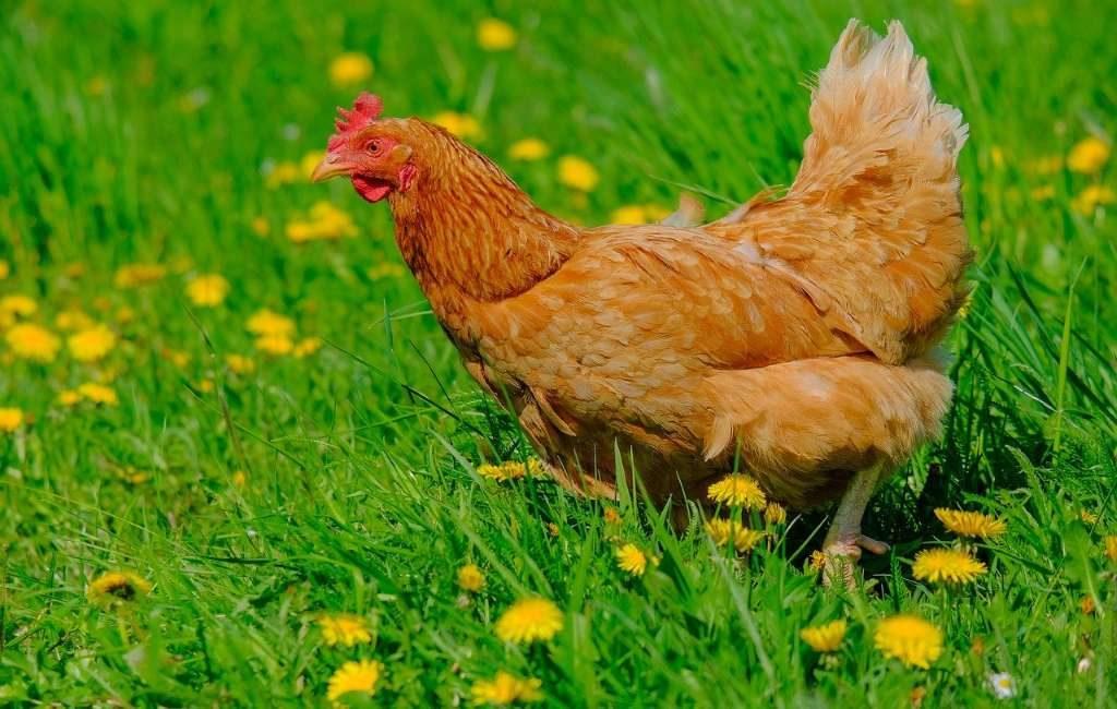 No se permite levantar pollos por las patas