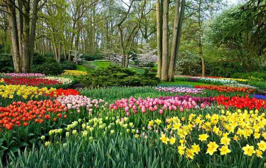 Otro año corona sin el festival de las flores de Keukenhof en los Países Bajos.