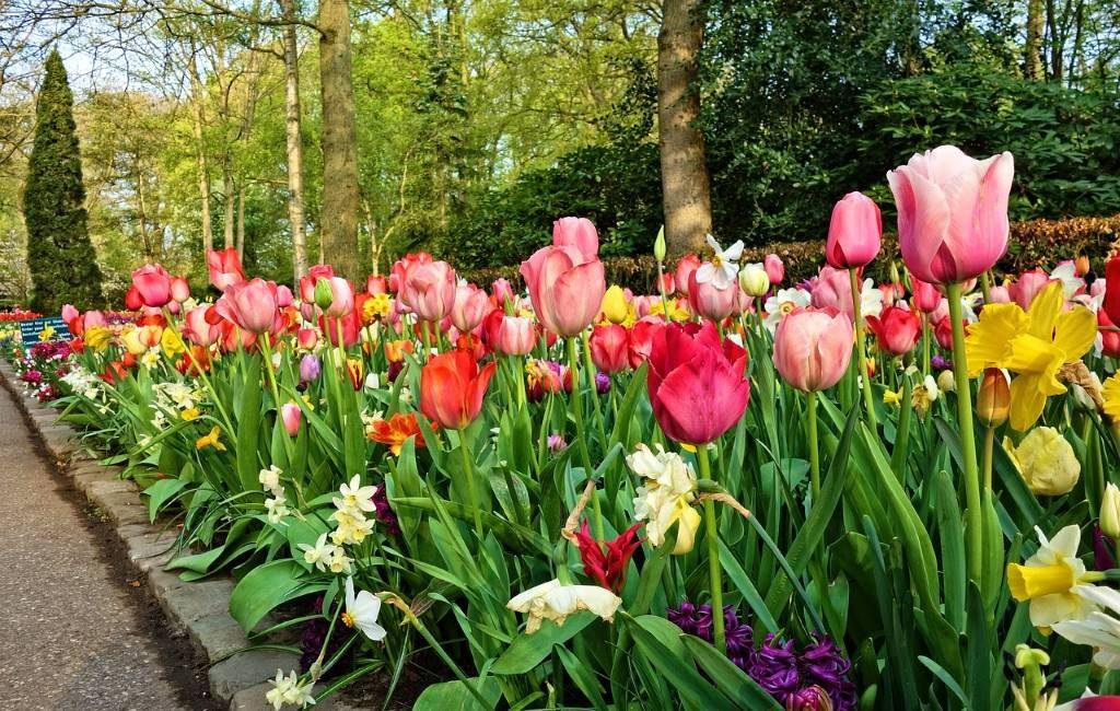 ¿Qué bulbos de flores son los más comunes en los Países Bajos?